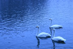 Large triangle of the lake. (shig.) Tags: blue winter white lake snow bird birds swan pond triangle snowy lakeside swans