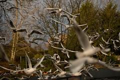 A Flock of Seagulls (Lluniau Clog) Tags: chester blackheadedgull chesterzoo chroicocephalusridibundus