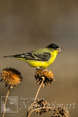 Lesser Goldfinch male on seed head Tekiela STEK8901 (Stan Tekiela's Nature Smart Wildlife Images) Tags: wild copyright male nature birds animals feeding critter wildlife birding feathers images stockphotos professionalphotographer avian digitalimages stockimages naturalist stockimage lessergoldfinchcarduelispsaltria eatingseeds stantekiela allrightsreservered wildfeeding naturesmartwildlifewordsandimages