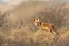Sunrise Lookout (hvhe1) Tags: winter wild holland nature netherlands animal mammal frost wildlife dunes fox awd fuchs vos vulpesvulpes amsterdamsewaterleidingduinen specanimal rénard hvhe1 hennievanheerden specanimalphotooftheday