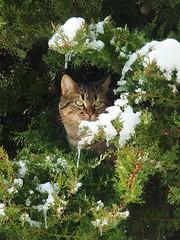 Me pareció ver un lindo gatito (Patataasada) Tags: winter españa cold tree ice cat spain huesca nieve gato árbol fir frío febrero hielo jaca pirineo snor abeto aragón pirineoaragonés