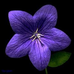 Je suis resté fleur bleue...
