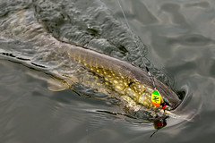 Portmore09Oct14_7277 (Cap'n Fishy) Tags: scotland pike pikefishing