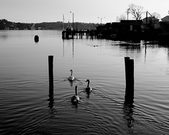 Tranquility (bjorbrei) Tags: sea water norway river calm swans tranquil krossnes fredrikstad