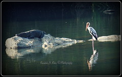 Marsh crocodile and Painted stork (Kaushik.N.Rao) Tags: india reflection bird river painted crocodile marsh mysore sanctuary stork ranganathittu basking 2015