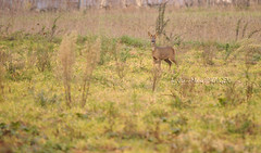 Biche/ Chevrette (kaigen.photo) Tags: france nature lot fort cahors bois champ 46 chasse sanglier biche brocard midipyrnes marcassin kaigen quarantesix jeanmarclutzi chassephotographique checreil