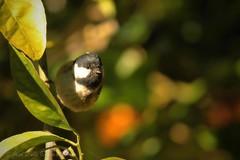 Chapim-carvoeiro   Parus ater   Coal tit (JosBar - 1,4M Tkx... ;-)) Tags: portugal nature birds animals fauna birdie wings wildlife natureza birding beak feathers