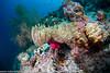 Heteractis magnifica - anémone magnifique - magnificent sea anemone  05-Modifier.jpg
