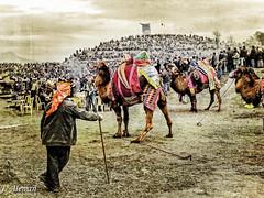 Lucha de camellos en Kusadasi (J Alema) Tags: turkey wrestling turkiye olympus camel turquia camello izmir kusadasi xz1