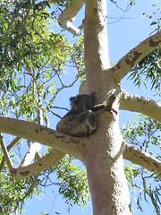 "Koalas à Yanchep <a style=""margin-left:10px; font-size:0.8em;"" href=""http://www.flickr.com/photos/83080376@N03/16187859370/"" target=""_blank"">@flickr</a>"