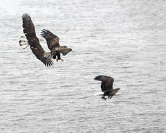 Fight Scene 2 (AmyBaker0902) Tags: river mississippi claire eagle lock dam 14 bald iowa le
