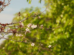 plum tree 20150314 (caligula1995) Tags: plumtree 2015 plumflowers