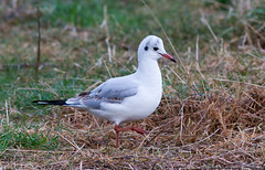 009 (hdahlby) Tags: gull blackheaded hettemke uthaug
