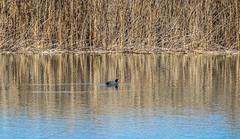 DSC_0938 (dennischap) Tags: arizona duck coloradoriver parker ahakhavtribalpreserve