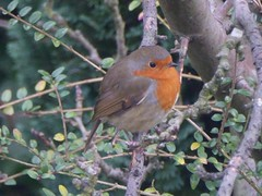 A robin seen through my kitchen window (stillunusual) Tags: uk england bird nature robin manchester wildlife urbannature urbanwildlife mcr 2015 levenshulme