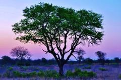 African sunset (stevelamb007) Tags: africa sunset tree southafrica bush nikon african eveningsky mpumalanga d90 sabisands stevelamb nottensbushcamp