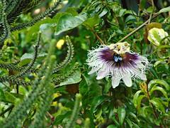Flor de Maracujá e a Mamangava (Gigica Machado) Tags: flordemaracujá mamangava