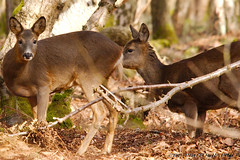 Roe Deer 2 (View From The Chair Photography) Tags: nature wildlife mammals