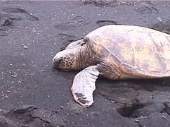 Turtle on Black Sand