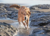 He likes to get as dirty and smelly as possible at the beach.  It's his way of taking pictures to remember the fun. (YetAnotherLisa) Tags: california dog beach goldenretriever coast mutt splash fortfunston stalk hunt