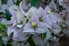 (bouganvile) Bouganvillea spectabilis, Nyctaginaceae (Alderi Fernandes) Tags: flores brasil alamanda zinia floramarela florvermelha