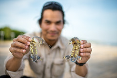 Mantis shrimps (Varanus67) Tags: sea crustacean invertebrate mantisshrimp