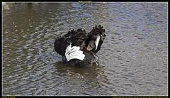 ND6_8569 (charlesvanlangeveld) Tags: black swan nederland swans zwart zwaan moordrecht zwanen photou