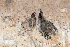 Wild Turkeys near Denver, Colorado