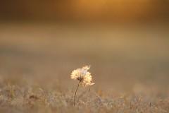 IMG_0297 (Nikki OM) Tags: africa sunset nature landscape gold south dandelion wish makeawish