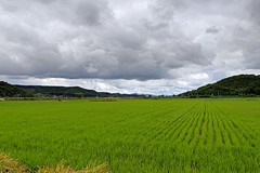 Korean Rice Field Scenery (Johnnie Shene Photography(Thanks, 1Million+ Views)) Tags: korea korean ricefield cerealfield grainfield field agricultural rural countryside country summer day daylight clouds cloudscape nature natural wild tranquility tranquilscene adjustment paju gyeonggido wideangle longdistance green photography horizontal outdoor colourimage fragility freshness nopeople selectivefocus traveldestination landmark local scenic scenery landscape canon eos600d rebelt3i kissx5 sigma 1770mm f284 dc macro lens       shene81