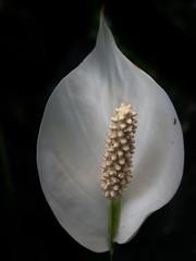 P7129613 (Mark J. Stein) Tags: plant flower nature closeup longwoodgardens 2016 photobymarkjstein photobymarkstein