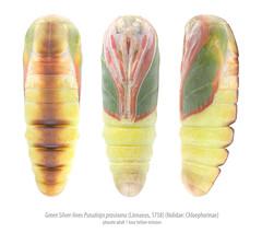 Pharate Green Silver-lines (Franziska Bauer) Tags: lepidoptera pupa metamorphosis puppe metamorphose nolidae greensilverlines pseudoipsprasinana buchenkahneule pharate