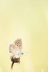 Icarusblauwtje (beltmg) Tags: icarus butterfly vlinder zwolle bruggenhoek gert beltman blue blauw blauwtje papillon