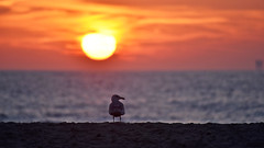 Umm.. should I stay or should I go? (cernicb) Tags: sunset dusk sun seagull sea coast shore beach sand bird