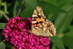 Distelfalter (Vanessa cardui) (Hugo von Schreck) Tags: hugovonschreck butterfly macro makro insect insekt schmetterling falter canoneos5dsr tamron28300mmf3563divcpzda010 onlythebestofnature