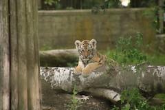 Amur tiger cub (Korkeasaaren elintarha) Tags: korkeasaarenelintarha korkeasaari hgholmensdjurgrd hgholmen helsinkizoo helsinki elintarha zoo zooanimals animals amurtiger amurintiikeri tiger tigercub tigercubs pantheratigrisaltaica
