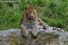 African leopard - Pairi daiza (Mandenno photography) Tags: dierenpark dierentuin dieren animal animals belgie belgium bigcat big cat african leopard pairi daiza pairidaiza ngc