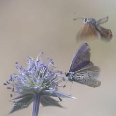 Unexpected (Toni P. Juan) Tags: butterflies mariposas macro papillons nature jard garden botnic blue azul air flying volar paint background