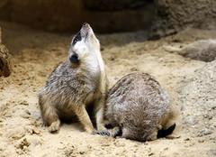 02-IMG_2211 (hemingwayfoto) Tags: berlin erdmnnchen grau lebewesen natur niedlich raubtier sugetier schleichkatze suricatasuricatta tier wild zoo