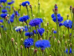 August blues (Joni Mansikka) Tags: nature summer flowers cornflowers blue green outdoor garden flowerbed petals colours tuorla suomi finland centaureacyanus tamronspaf2875mmf28xrdildasphericalif