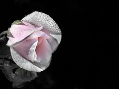 Don't cry when the sun is gone because your tears wont let you see the stars. (Nick Kenrick.) Tags: petals rose raindrops tears pink