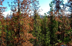 Mountain Pine Beetle attacked forest canopy (ubcmicromet) Tags: mountainpinebeetle britishcolumbia wind turbulence temperature climate fluxnet kennedysiding tower mountainpinebettle dendroctonusponderosae ubc theuniversityofbritishcolumbia