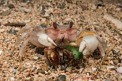 Ghost crab feeding on beetles -Okinawa (Okinawa Nature Photography) Tags: crabsofjapan cru crustaceans okinawanaturephotography okinawanaturephotos beachphotography macrophotography sanddweller claws canonoutdoors canon70d tokina1017mm kenko crabsofokinawajapan