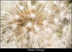 Dandelion (Daniele Marongiu) Tags: sardegna plant flower macro nature sardinia natura blow dandelion wish common fiore cagliari pianta vegetale tarassaco soffio comune desideri