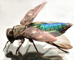 9.1 mm female buprested (ophis) Tags: coleoptera buprestidae polyphaga chrysobothris metallicwoodboringbeetle elateriformia buprestoidea chrysobothrini chrysobothrissexsignata