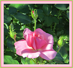 Afternoon Delight (bigbrowneyez) Tags: roses buds blossoms flowers beautiful gorgeous fabulous delightful stunning beauty bella bellissima fresh light bokeh nature natura luce petals pink frame cornice delicate romantic tender dof creamy pastel