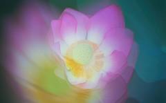 lotus (mstkeast) Tags: waterliliy  japan       lotus
