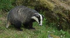 Badger (Meles meles) (Sandra Standbridge.) Tags: badger melesmeles wildandfree outdoor animal mammal scotland clover wildlife mountains rock grass huntingforfood night nocturnal
