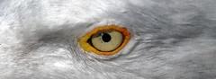 Gull's eye (Schmouel) Tags: ocean sea eye birds amazing seagull gull bretagne oeil pointe oiseau raz mouette regard plume finistere goland pupille