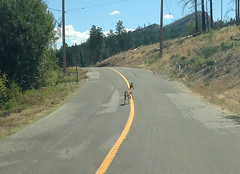 Coyote (sedge23) Tags: coyotes kelowna okanagan